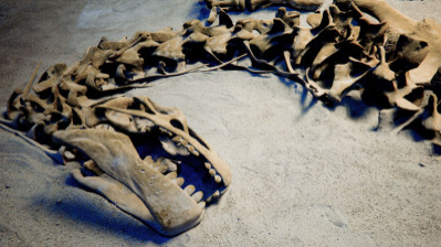 Smuggled Tyrannosaurus Skeleton at Auction